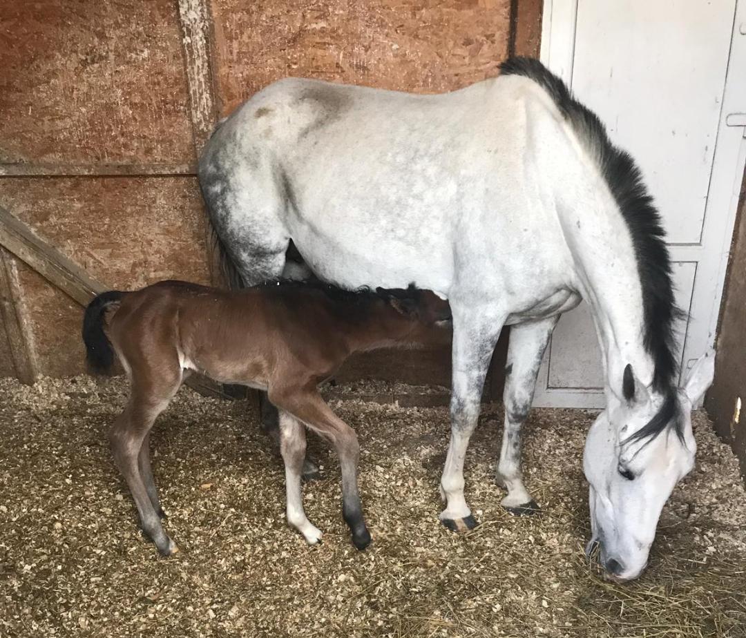 Equester - manzul Spirit