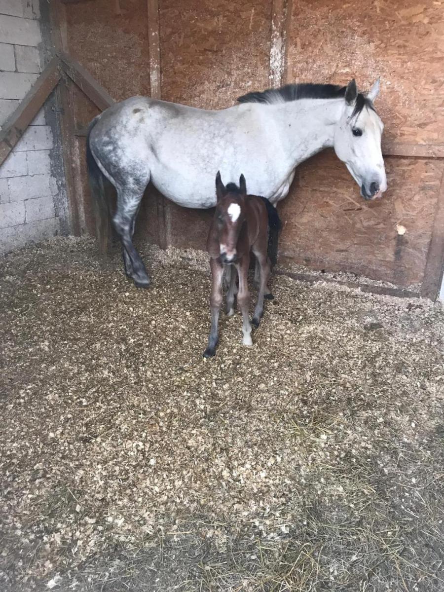 Spirit - un manz nou la Clubul de echitație Equester